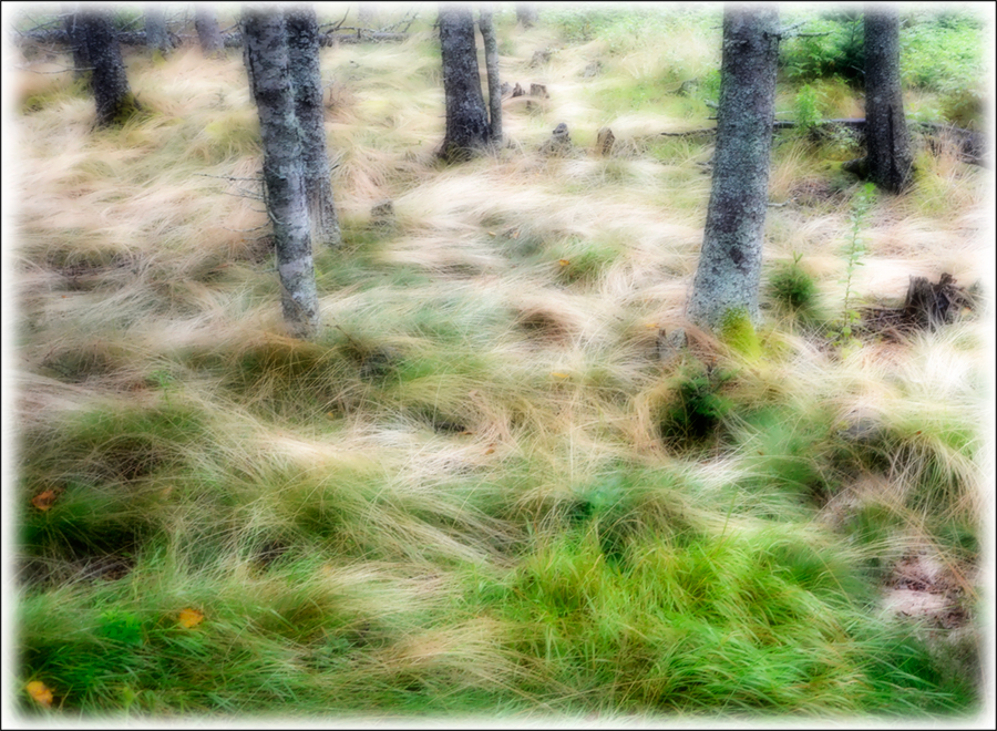 Grass and Trees, Acadia National Park