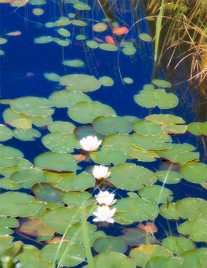 Water Lillies, Aunt Betty Pond, ANP, 12x16